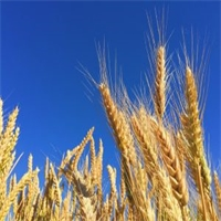 7 Awesome Health Benefits of Rye: The World's Healthiest Grain