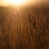 Rye: The Benefits of Cover Crops